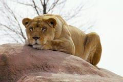 Lionne de repos Photographie stock