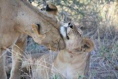 Lionne de soin Photos stock