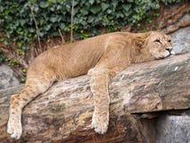 Lionne de sommeil Image libre de droits