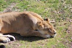 Lionne de sommeil Photographie stock