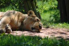 Lionne de sommeil Photographie stock libre de droits