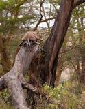 Lionne de sommeil sur un arbre Photos stock