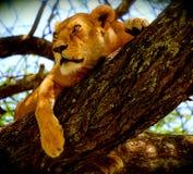 Lionne de Treed dans le Serengeti, Tanzanie, Afrique Photographie stock libre de droits