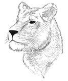 Lionne de vecteur Images libres de droits