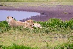 Lionne deux dans le Serengeti Photos libres de droits