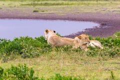 Lionne deux dans le Serengeti Photo stock