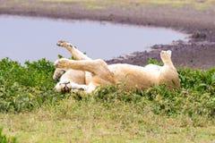 Lionne deux en Tanzanie Photographie stock libre de droits