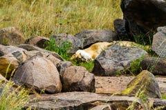 Lionne dormant dans l'herbe Photographie stock libre de droits
