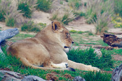 Lionne dormant dans l'herbe Images libres de droits