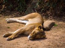 Lionne dormant en saleté images libres de droits