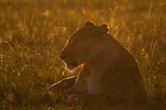 Lionne en soleil de matin Photo libre de droits