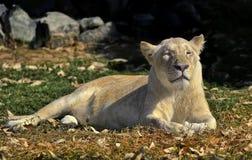 Lionne enceinte Photographie stock libre de droits