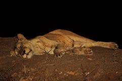 Lionne essayant d'obtenir le repos Images stock