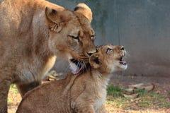 Lionne et Cub images libres de droits