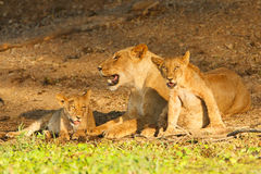 Lionne et CUB Photos stock
