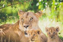 Lionne et CUB en Afrique images stock