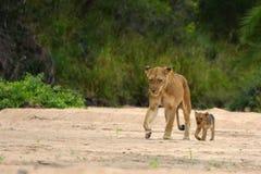 Lionne et CUB (Panthera Lion) Image stock