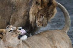 Lionne et lion, jeux prédateurs Photos stock