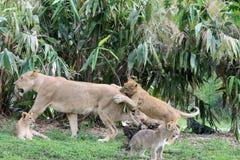 Lionne et petit animal Image libre de droits