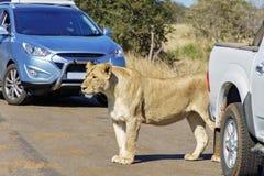 Lionne et voitures sur la route en Kruger Photographie stock