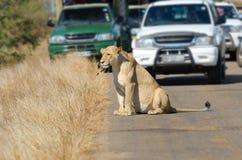 Lionne et voitures sur la route en parc national de Kruger images libres de droits