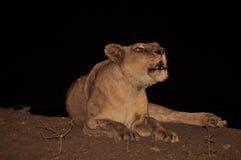 Lionne exigeant à la fierté Photos stock