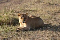 Lionne femelle dans le maasai sauvage Mara photographie stock