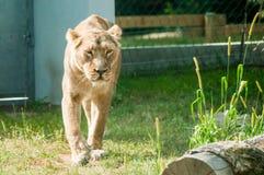 Lionne fonctionnant sur une herbe, regardant sauvage, le parc zoologique photos stock