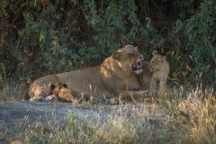 Lionne grognant dans les buissons avec deux petits animaux Images libres de droits