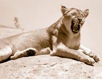 Lionne hurlant sur le dessus de montagne photo libre de droits