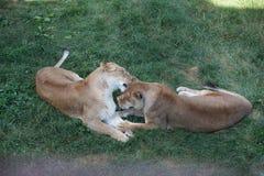 Lionne jouant sur l'herbe dans un safari Images libres de droits
