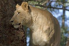 Lionne (krugerii de Lion de Panthera) photo libre de droits