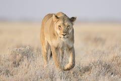 Lionne marchant dans l'herbe photographie stock libre de droits