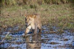 Lionne marchant dans le marais Photos libres de droits