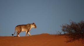 Lionne marchant sur la dune rouge Images stock