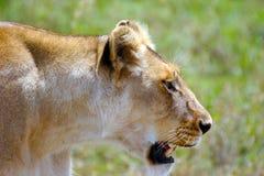 Lionne marchant sur les plaines du parc national Tanzanie de Serengeti Photos stock