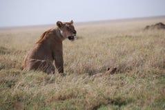 Lionne med behandla som ett barn Arkivfoton