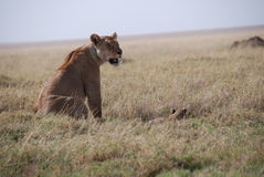Lionne mit Baby Stockfotos