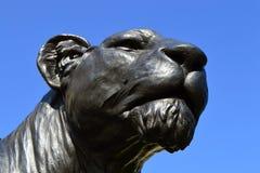 Lionne noire Photos libres de droits