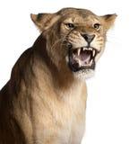 Lionne, Panthera Lion, 3 années, grondant Image libre de droits