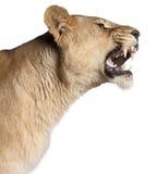 Lionne, Panthera Lion, 3 années, grondant Images libres de droits