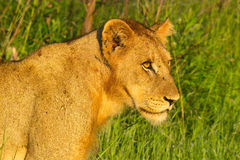 Lionne (Panthera Lion) en parc national de Kruger Photographie stock libre de droits