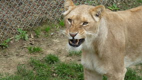 Lionne - préparez pour hurler Photo stock