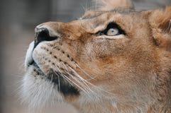Lionne recherchant au ciel Photos stock