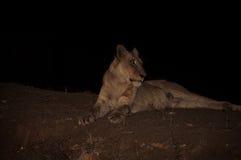 Lionne regardant dans des bois Photo stock
