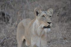 Lionne regardant la fierté Images libres de droits