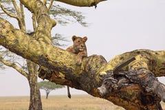 Lionne Relaxed Photographie stock libre de droits