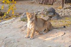 Lionne reposant et regardant la lentille un jour ensoleillé d'automne photos libres de droits