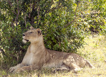 Lionne reting Photo stock