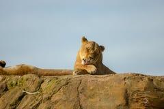 Lionne s'étendant sur la roche image libre de droits